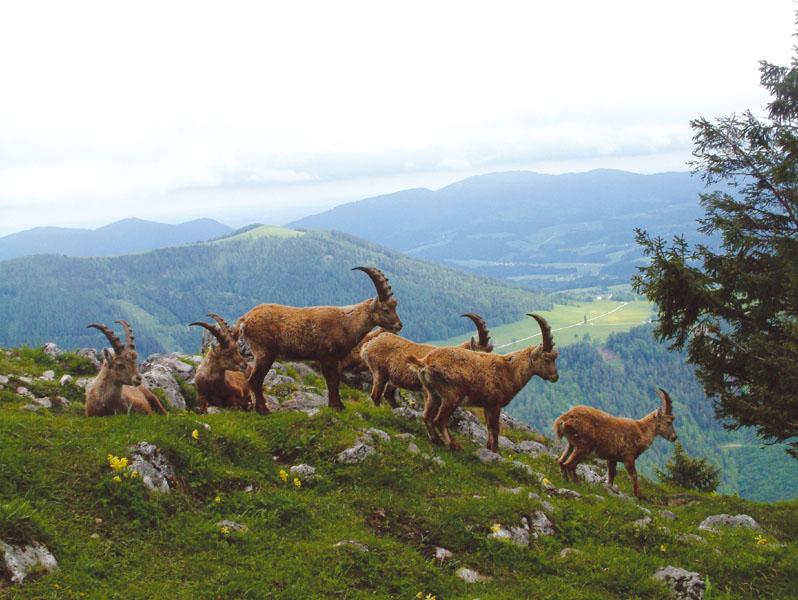 Kőszáli kecske csapat